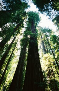 Focusing on what matters, The Redwoods, 2006